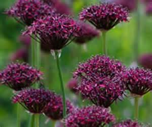 Shade Loving Flowering Shrubs - coblands online garden centre buy garden plants online with free uk delivery
