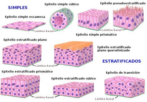imagenes histologicas pdf tejido epitelial de revestimiento atlas de histolog 237 a