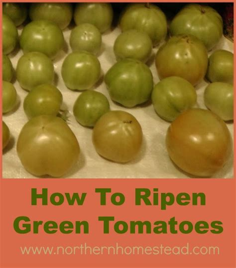 how to ripen green tomatoes northern homestead
