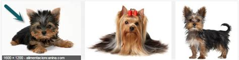 yorkie hair growth dogs will the hair of my yorkie terrier growth so pets stack exchange