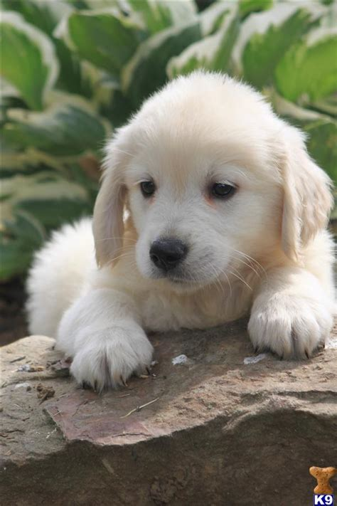 golden retriever puppies for sale in oh golden retriever dogs for sale in ohio www proteckmachinery