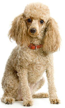poodle lifespan in human years poodle faq frequently asked questions