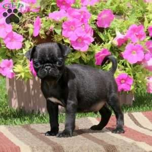 pug puppies vermont pug puppies for sale in pa greenfield puppies