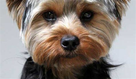 pictures of yorkies with puppy cuts yorkie puppy cut what is a puppy cut yorkiemag