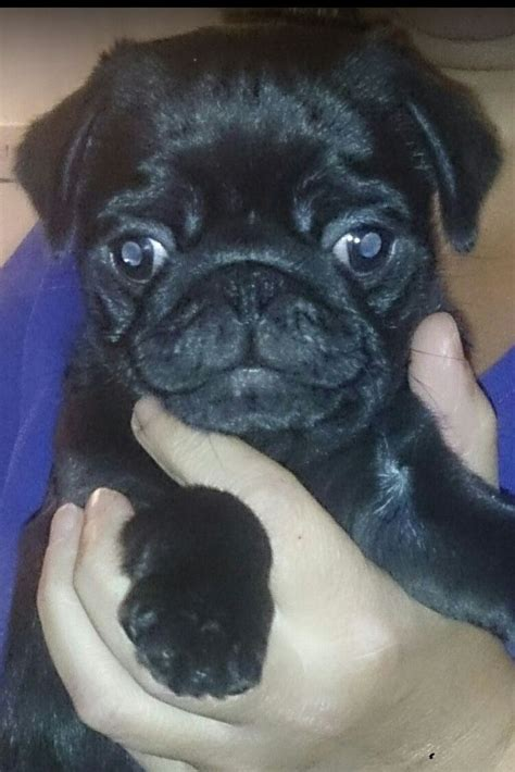 pug puppies for sale in plymouth ready now all black pug puppy plymouth pets4homes