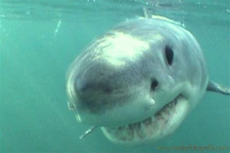 ataque de tiburon submarino en sudafrica tiburn llamado submarino en sudfrica c 243 mo ba 241 arse