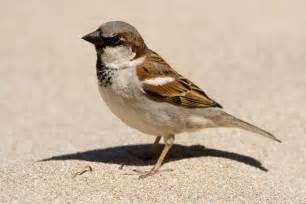 ken s photo blog house sparrow