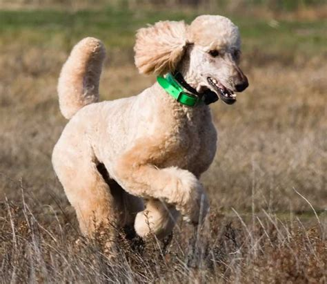 sporting breeds companions dogs a list of non sporting breeds k9 research lab