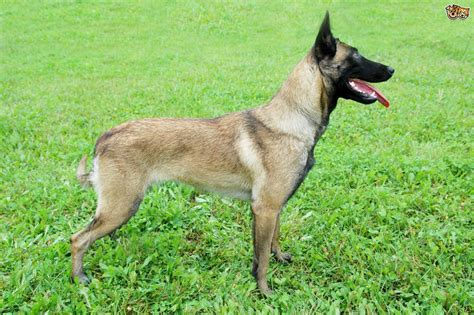 belgian dogs belgian malinois shepherd temperament and handling pets4homes