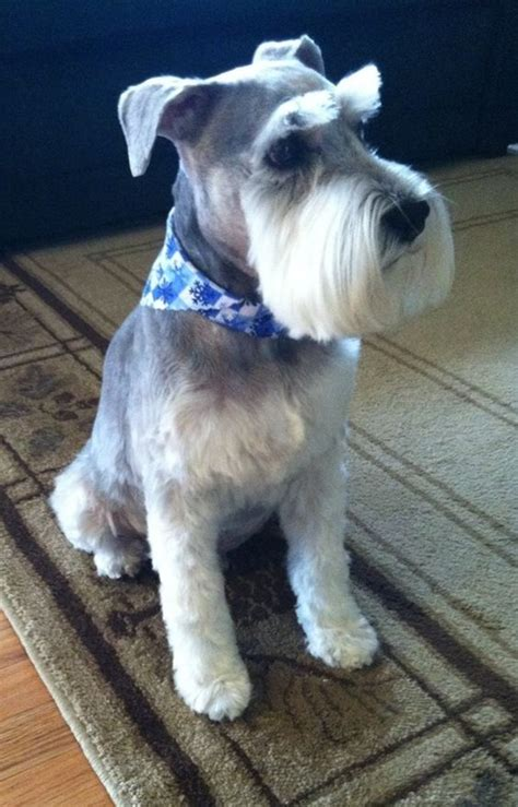 mini schnauzer haircut styles 30 different dog grooming styles tail and fur