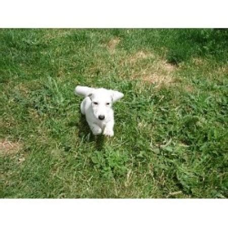 free puppies in oregon aston acres miniature dachshunds dachshund breeder in salem oregon