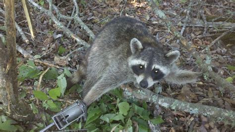 how to catch a raccoon in my backyard racoon backyard chickens