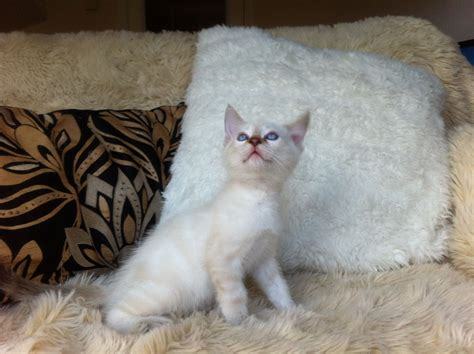 blue eyed snow bengal kitten 3 months old youtube snow lynx blue eyed bengal kitten male ready now