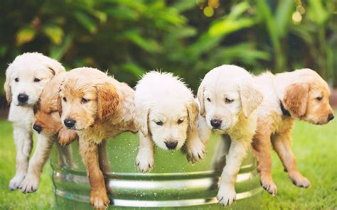 golden retrievers top golden retriever sites forums best golden retriever names over 150 amazing ideas