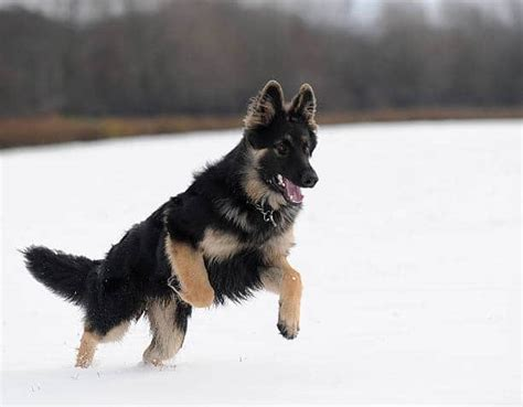 9 grooming tips for haired german shepherd