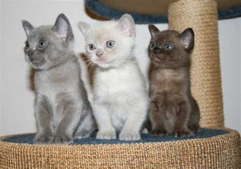 Burmese Cat Info, Personality, Kittens, Pictures
