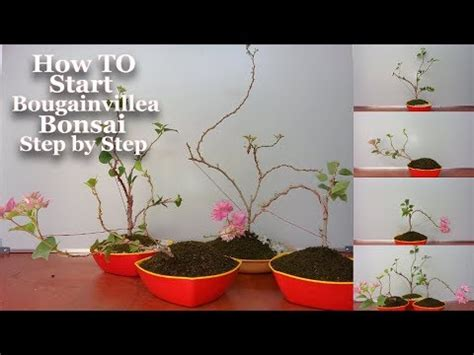 libro bonsai secrets designing growing how to start bougainvillea bonsai step by step start bougainvillea bonsai growing tips