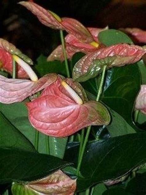 fiore anturium anturium con patina domande e risposte piante