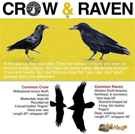 crow or raven the crow s tail feathers are basically the