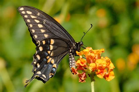 black butterfly swallowtail butterfly pictures
