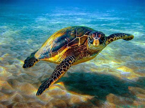 Turtle Sea the hawksbill turtle snsh