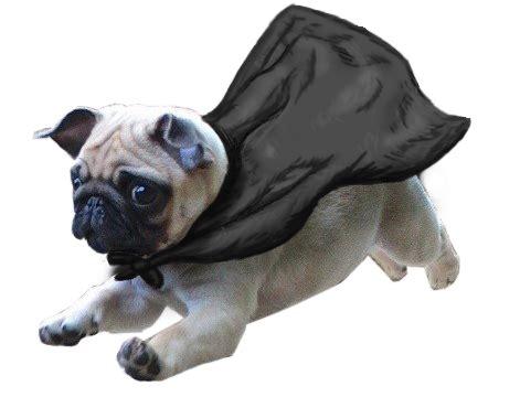 flying pug transparent pugs