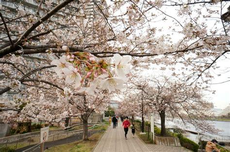 sakura spots  sumidagawa part  matcha japan