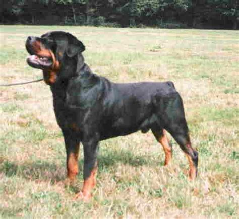 show me a picture of a rottweiler www rottweiler co nz