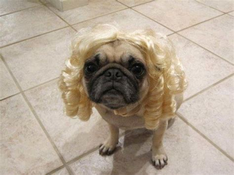 hair pug 17 best images about pugs in wigs on ja ja ja mullet wig and new haircuts