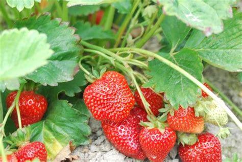 coltivare fragole in vaso coltivazione fragole frutteto come coltivare le fragole