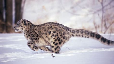 how fast can a run how fast can a leopard run reference
