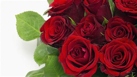 rose s make2fun red roses most popular rose rose wallpapers