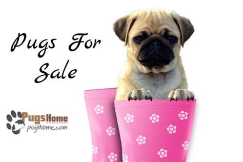 find pug puppies for sale guide to pug puppies for sale near me