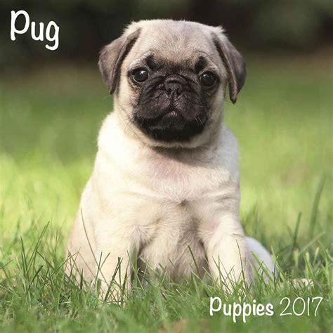 where to buy pug puppies pug puppies mini calendar 2017 calendar club uk