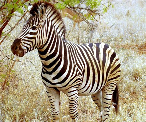 Zebra Wikipedia The Free Encyclopedia 2016