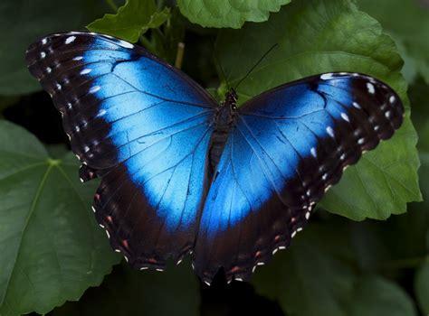 Where Can I Buy A Tiny House blue morpho butterfly by jenni77 on deviantart