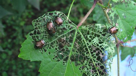how to get rid of japanese beetles the tree center