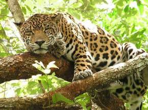 Photos Of Jaguar Jaguar Animals Photo 19389480 Fanpop