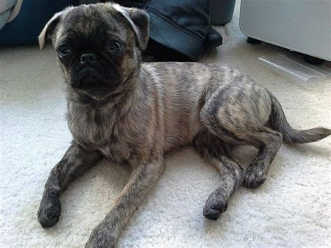 silver brindle pug brindle pug brindle white and pugs breeds picture