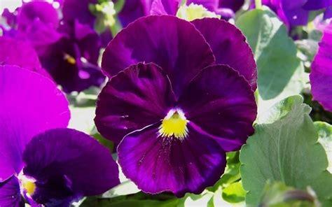 viole fiore viola pensiero piante da giardino coltivazione viole