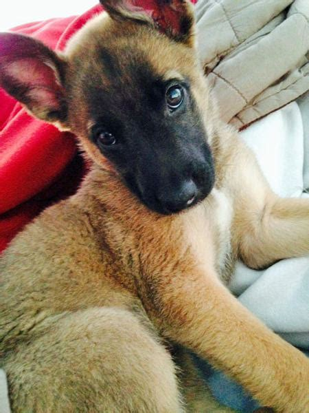 belgian malinois mix puppies for sale breeds mexican breeds small breeds names names of book covers