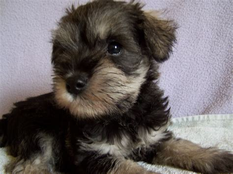 schnauzer puppies for sale in stunning miniature schnauzer puppies for sale bradford west pets4homes