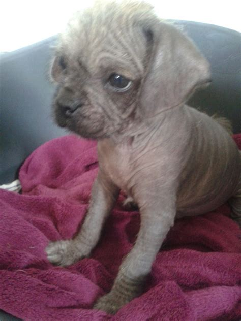 crested pug crested x pug puppies 1 bald boy 8 weeks leeds west pets4homes