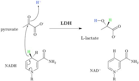L Mechanism by File Lactate Dehydrogenase Mechanism Png Wikimedia Commons