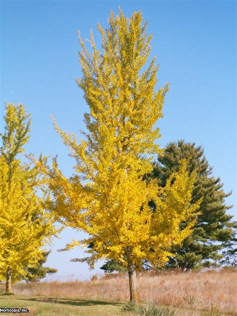ginkgo trees are ideal for fall color hgtv