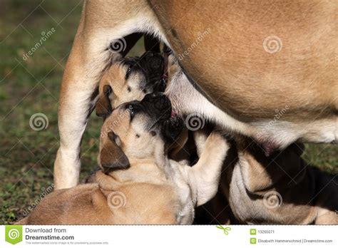 feeding puppies milk puppy milk feeding stock image image 13265071