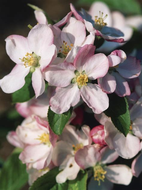 flowering trees for spring types of trees hgtv