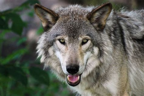 elizabeth s wolf a novel of the breeds books why killing wolves doesn t work treehugger