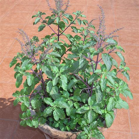 Tulsi Basil To Cure Skin Problems by Holy Basil Ocimum Sanctum Holy Basil Called Tulsi In
