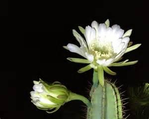 flowers that bloom at night night blooming cereus cactus flowers blooming naturetime